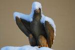 Adler auf Neptunbrunnen Arnstadt