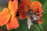 Wildbiene auf Goldlack
