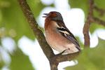Buchfink beim singen