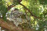 Buchfinkenweibchen beim Brüten