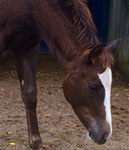 chestnut, Stute,  5 Monate alt