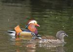 オシドリ 1972(昭和57)年、県の鳥に指定された。山間部の湖沼などに飛来する。