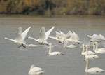 コハクチョウ 各地の河川湖沼に多数が飛来する。