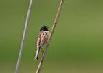 コジュリン ごく限られた地域に少数が飛来し、繁殖している。