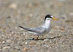 コアジサシ 海岸に50~100羽が飛来し繁殖する。近年、繁殖率が芳しくない。
