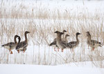 オオヒシクイ 河川湖沼に数百羽が飛来する。近年、増加傾向にある。