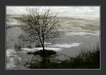 En Artense, arbuste dans une tourbière qui est encore gelée à la fin du printemps ..