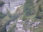 Camosci all'Alpe di Gagern 1998 m