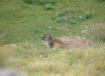 Una Marmotta curiosa....