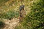 Marmotta di guardia