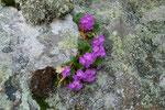 Primula irsuta