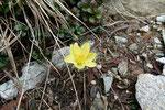 Anemone giallo