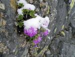Primula sotto la neve