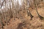 Magnifico bosco di Betulle