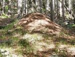 Formicaio nei boschi sopra Prepiantò alt