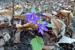 .... un fiore a fine dicembre ......(Campanula selvatica, Imbutini)