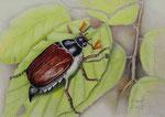Samsa der Käfer - Schichttechnik mit Blei- und Buntstift 30x40 cm unverkäuflich, als Druck erhältlich