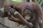Lea Orang Utan Frau Zoo Krefeld