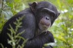 junge Schimpansin