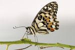 Limetten Schwalbenschwanz  Papilio demoleus  Asien