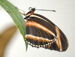 Fackel  Dryadula phaetusa  Südamerika