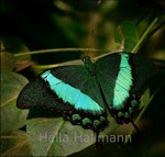 Ritterfalter Papilio palinurus