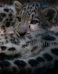* geborgen * Schneeleopardenjungtier Zoo Krefeld