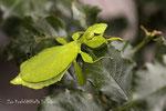 Wandelndes Blatt (Phyllium philippinicum)    Zoo Krefeld