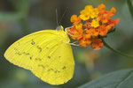 Gelbling  Phoebis philea   Südamerika