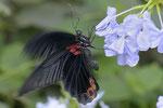 Gr. Mormone  Papilio memnon  Asien