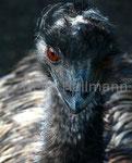 Emu Zoo Emmen