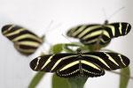 Zebrafalter  Heliconius charitonius  Südamerika