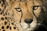 Gepard  Zoo Krefeld