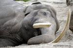 Radja  Asiat. Elefantenbulle