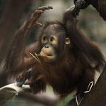 Changi  Orang Utan Junge  Zoo Krefeld