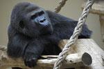 Kidogo Gorilla Silberrücken  Zoo Krefeld