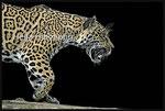 *Bess* Jaguar Zoo Krefeld