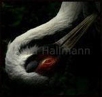 * Lichtmoment * Weissnackenkranich Zoo Krefeld