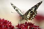 Citrus-Schwalbenschwanz Papilio demoleus