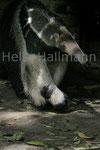 groß. Ameisenbär Zoo Krefeld
