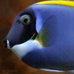 Weißkehl Doktorfisch