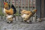 Brahma Hühnerfamilie
