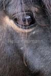 Shetland Pony  Zoo Krefeld