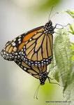 Danaus plexippus  Monarch  Verpaarung