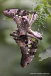 Graphium agamemnon  geschw.Eichelhäher  Verpaarung