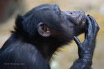 Charly Schimpanse Zoo Krefeld