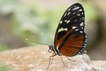 Tiger Passionsblumenfalter   Heliconius ismenius   Südamerika