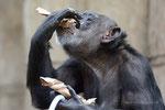 Lara Schimpansin Zoo Krefeld