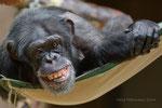 Menolly Schimpansin Zoo Krefeld