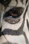Damara Zebra   Zoo Krefeld